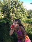 I recommend sampling each apple variety before loading your bucket. For instance, the kids thought they liked Granny Smiths but didn't care for the ones here. We only picked a couple. On the contrary, the Fujis (pictured above) were a hit.