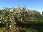 A row of Starkspur Law Rome apple trees. They're pretty trees and loaded with not-too-sweet, red apples that are perfect for baking.