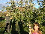 Our consensus favorite apple was the Ultra Gold, an explosively juicy and sweet greenish/yellow apple. Reminiscent of a pear. I bet we picked 20 pounds of this cultivar alone.